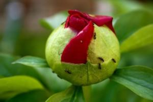 peony-and-ants2