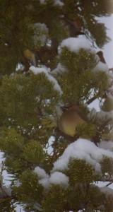 Finch in Tree